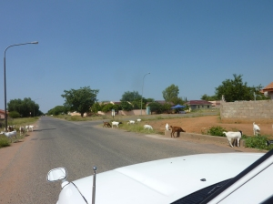 Goats on our street