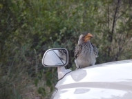 Yellow-billed hornbill having a fight with itself in the mirror