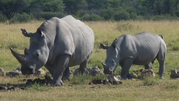 Mama and baby (white rhinos)