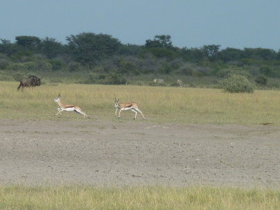 Steenboks playing