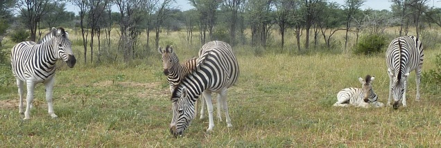 Zebra moms and foals