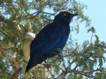 Starling, Kgalagadi Transfrontier Park, Botswana/South Africa