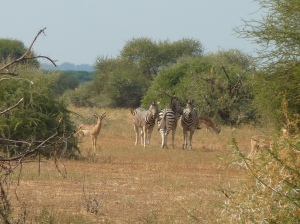 Mapungubwe (105) - zebra impala