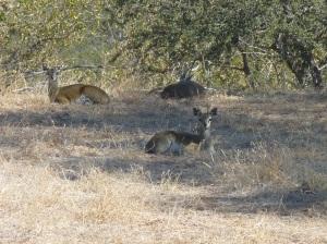 Mapungubwe (32) - klipspringers