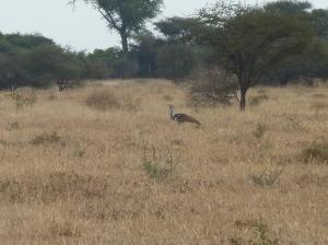 Mapungubwe (98) - kory bustard