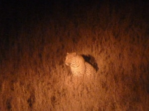 Young leopard on a night drive the day before this story.  We had 3 leopard sightings, on this trip, the 3rd being a huge cat we happened upon out on a dirt road as it woke up from a nap 20 feet up in a tree.  It gracefully covered the distance to the ground in two leaps.