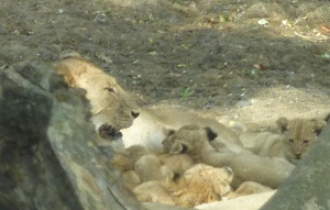 One of the mamas taking her turn with the cubs.  Spotted earlier in the day before this story, and we had to wait 30 minutes to jostle in with all the other cars for a look.