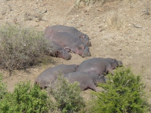 Hippos napping during the day, a rare sight since they sunburn easily.