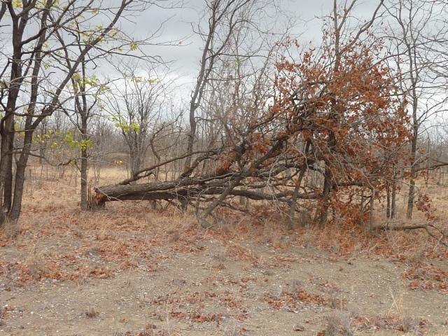 Evidence of elephant tree-dozing activities