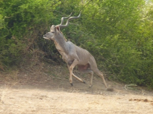 Greater kudu high-tailing it away from us.  In many other parks these animals are very habituated to humans.