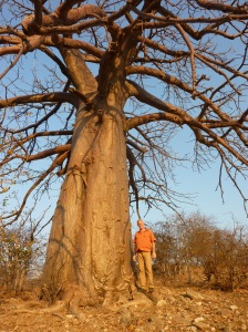 Africa's iconic baobab tree is KC's favorite and prolific in this area of Zimbabwe