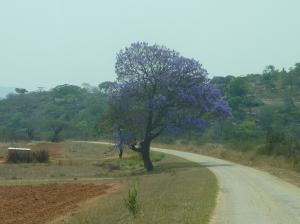 Farm fields and jacaranda tree in bloom