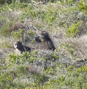 Baboons, Cape of Good Hope