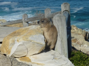 Dassie - or is it a troll? - living under the bridge at Cape of Good Hope, South Africa