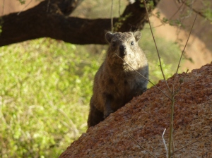 Dassie in evening sun, Spitzkoppe, Namibia