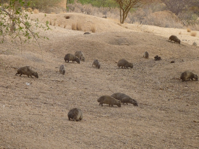 Dassie colony. Spitzkoppe, Namibia