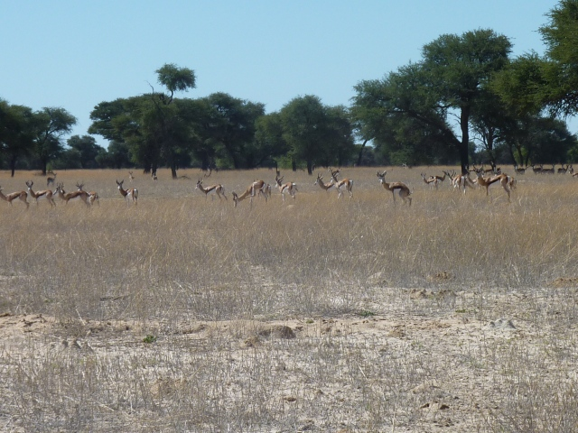 Large herds of springbok - although on the rise again thanks to Namibia's model conservation efforts - have disappeared from the Namib.  This photo is from the Kalahari.