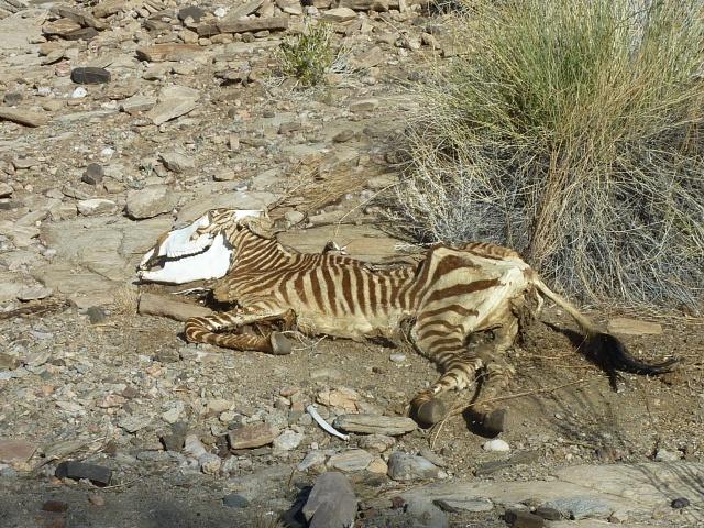 Zebra carcass